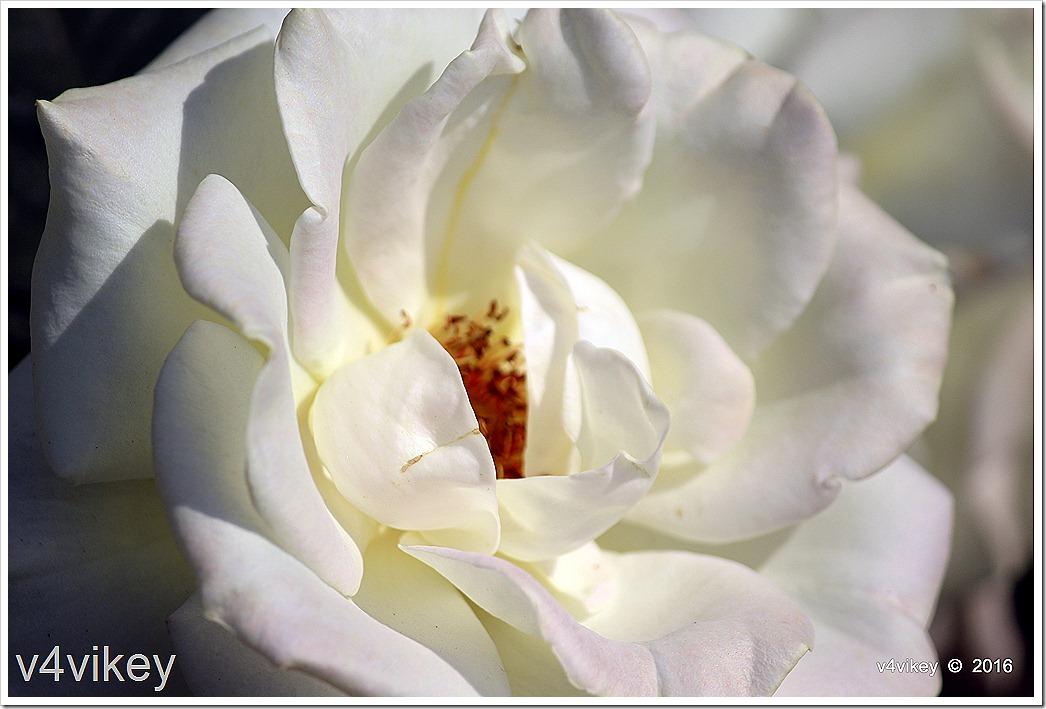 Alba Meidiland Rose