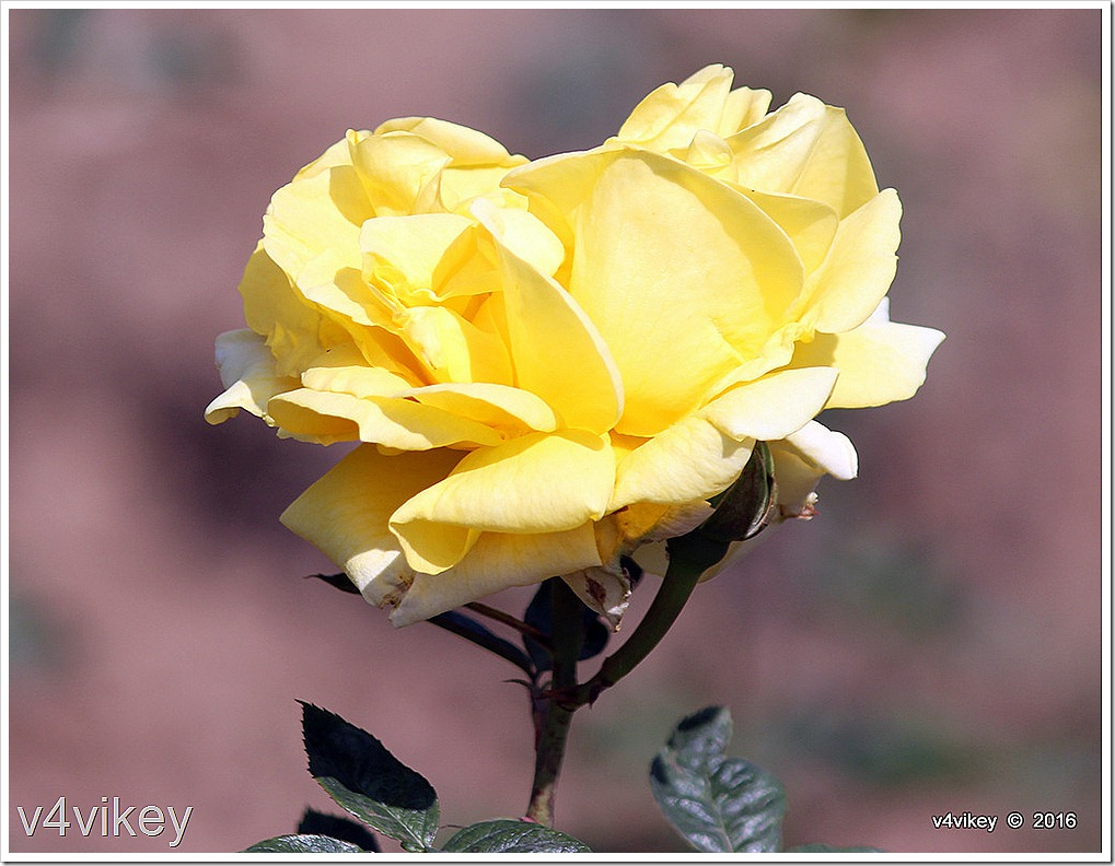 Beautiful Sunshine Daydream Rose Flower