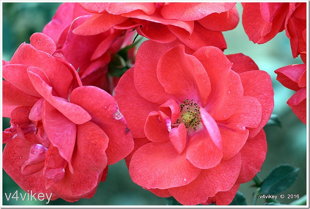 Beauty Secret Red Roses