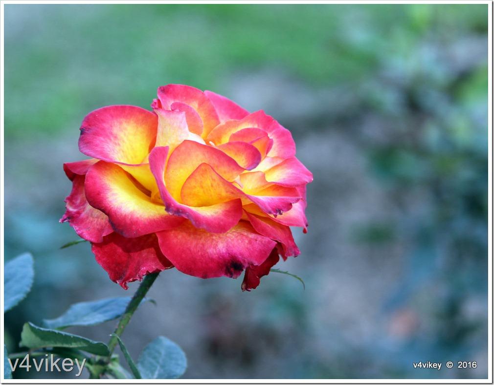 Betty Boop Rose Flower Image