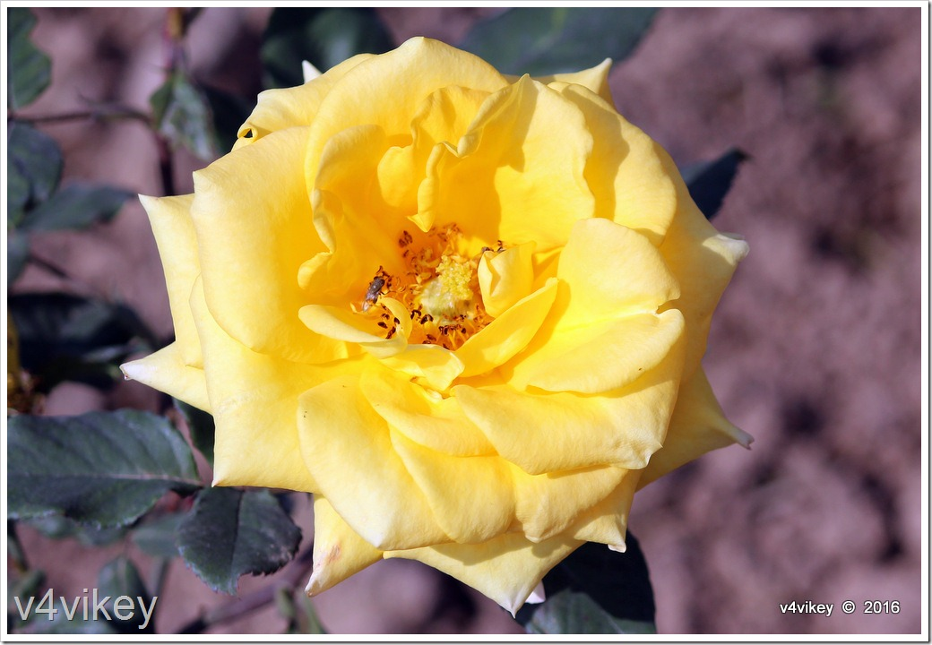 Carefree Sunshine Rose
