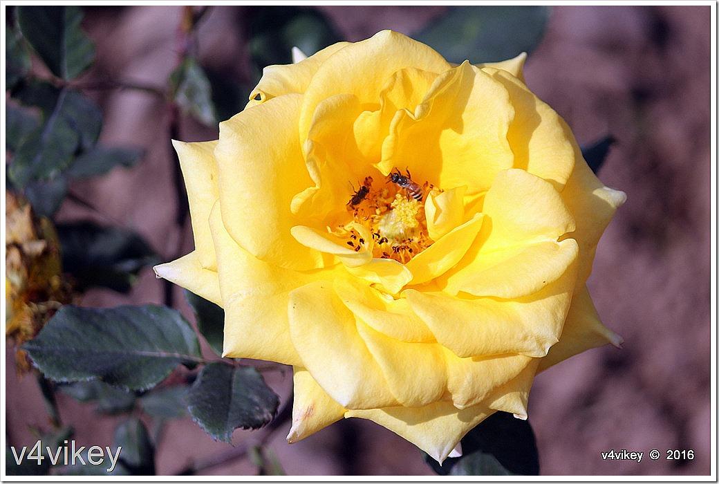 Carefree Sunshine Rose Flower