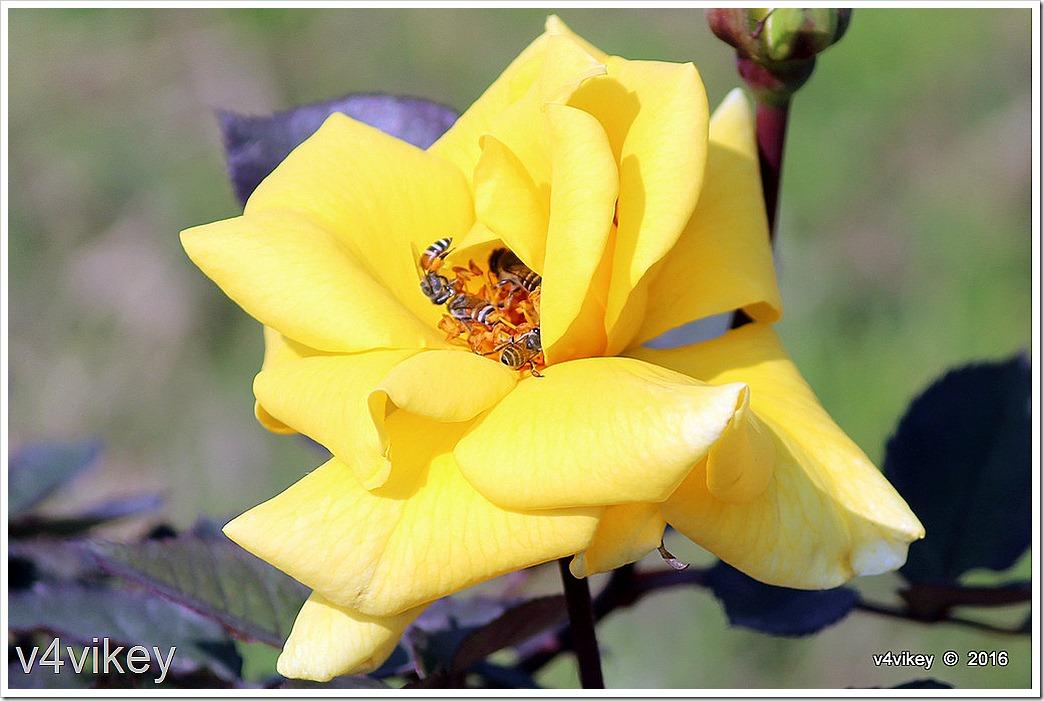 Carefree Sunshine Rose Wallpaper
