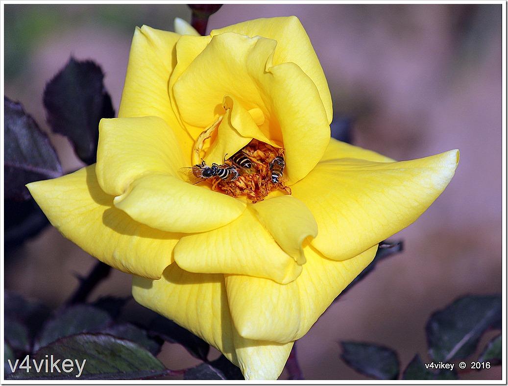 Carefree Sunshine Shrub Rose Image