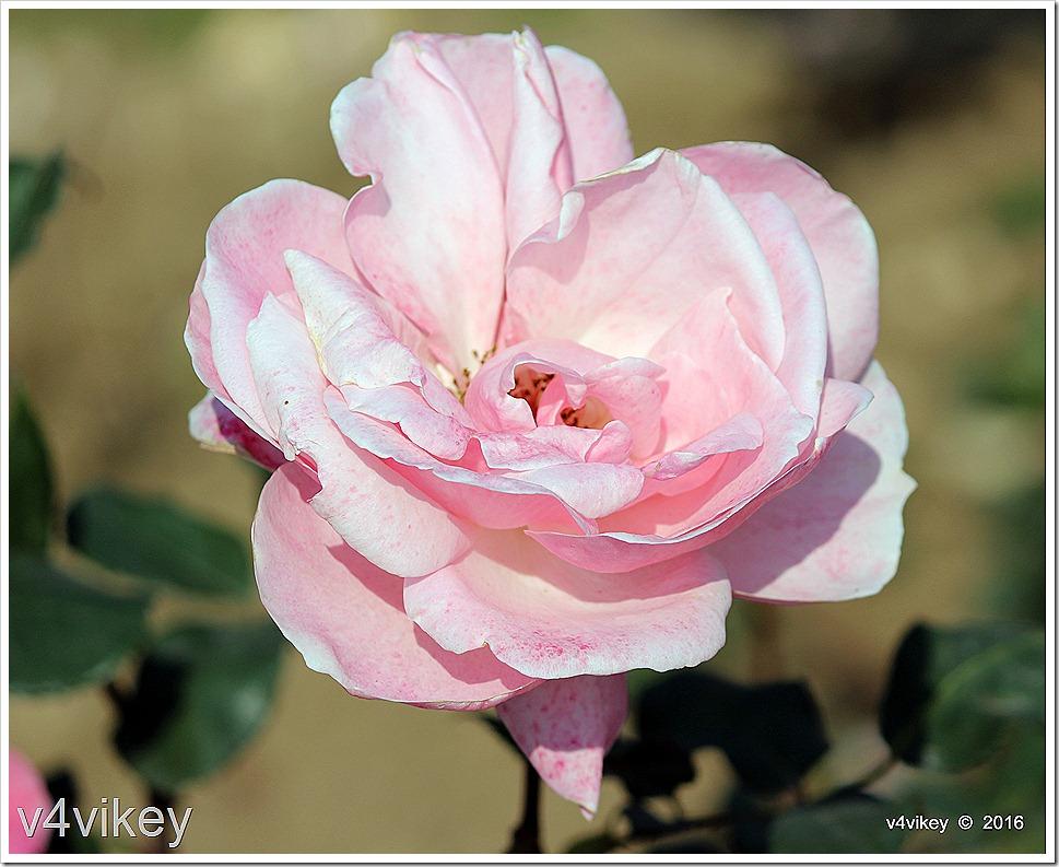 Cecile Brunner Pink Rose Flower Wallpaper