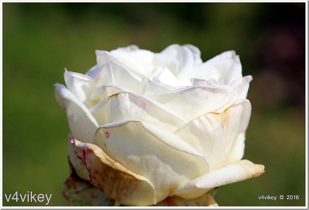 Crystalline White Hybrid Tea Rose