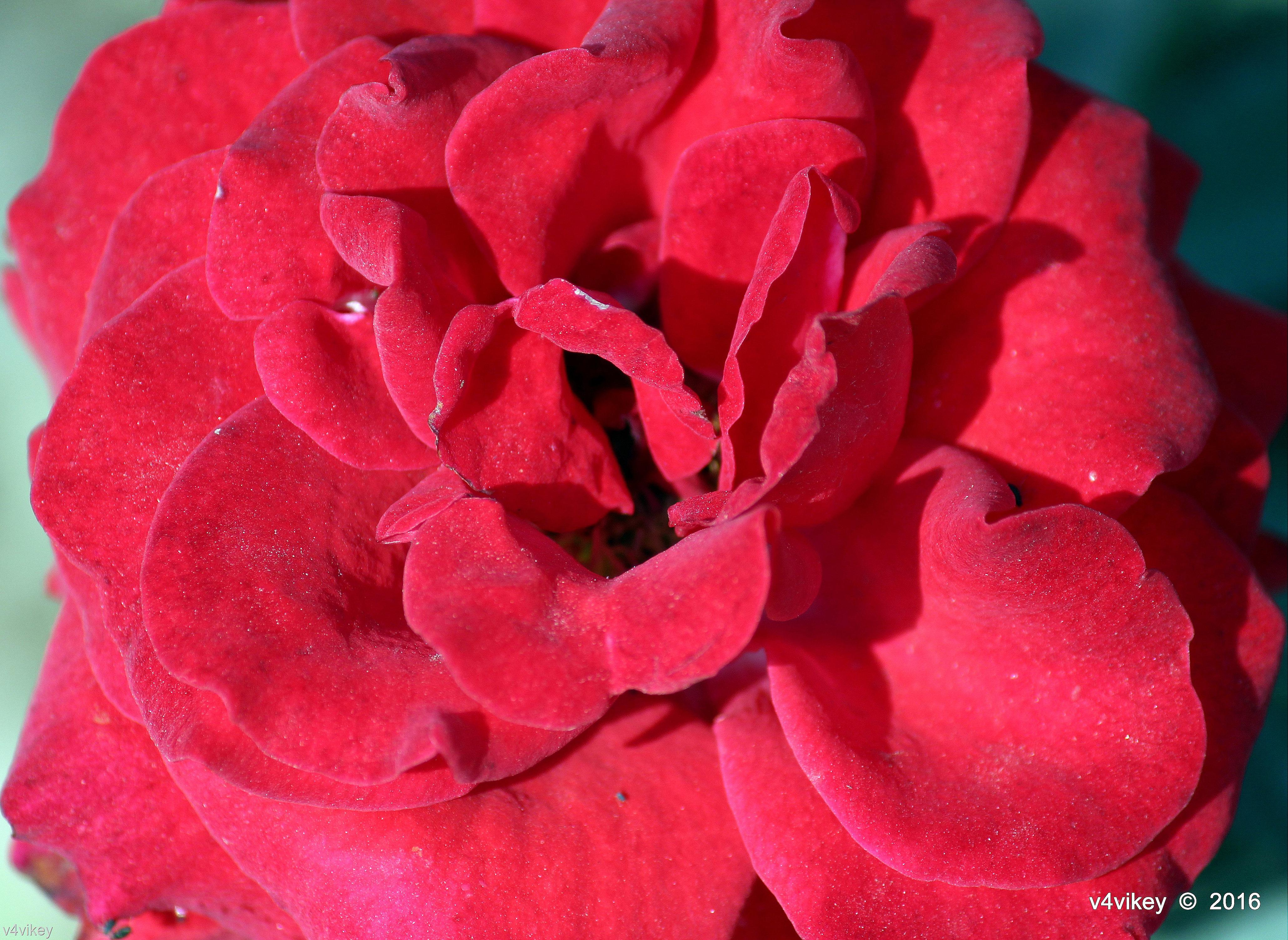 Drop Dead Roses Details