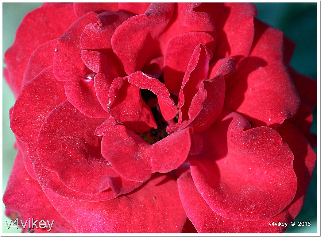 Drop Dead  Floribunda Red Rose