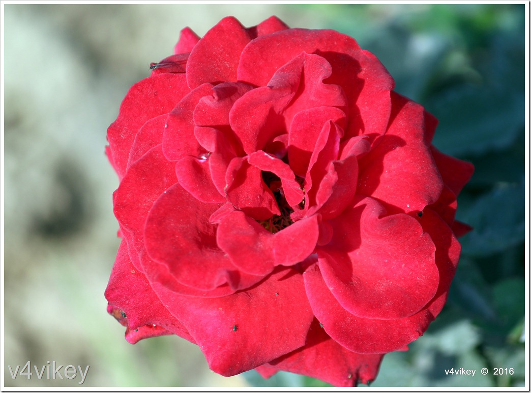 Drop Dead Red Floribunda Rose Photo