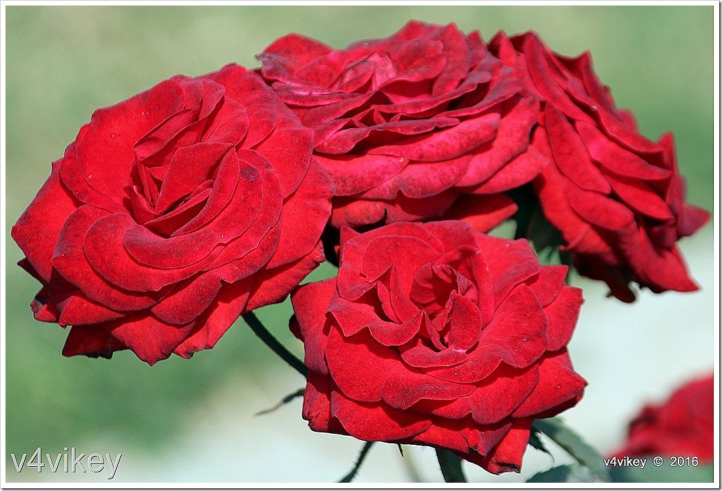 Drop Dead Red Floribunda Roses