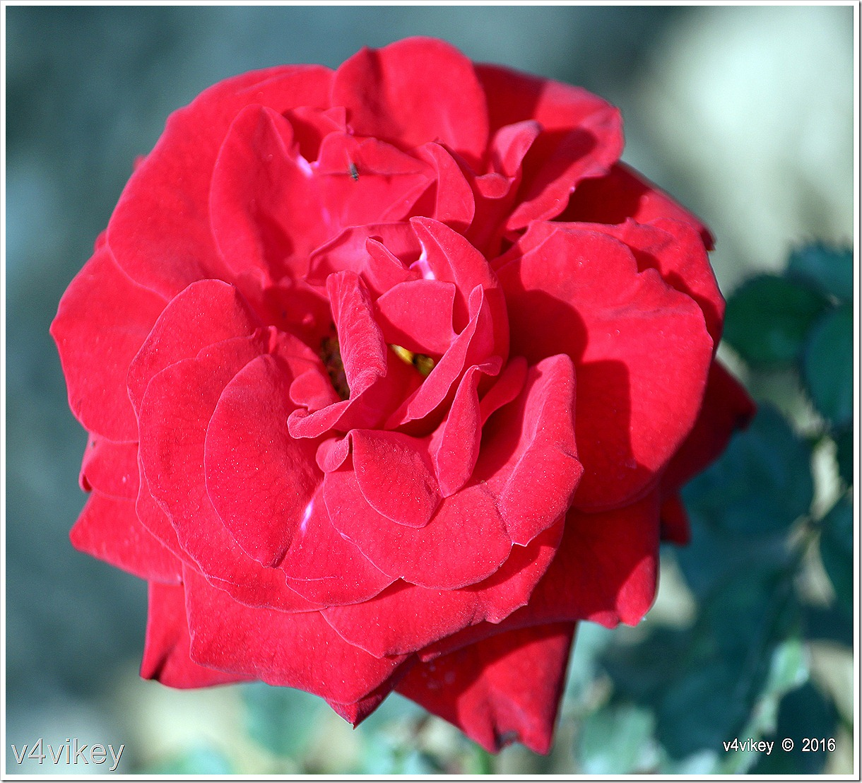 Drop Dead Red Floribunda Rose Wallpaper
