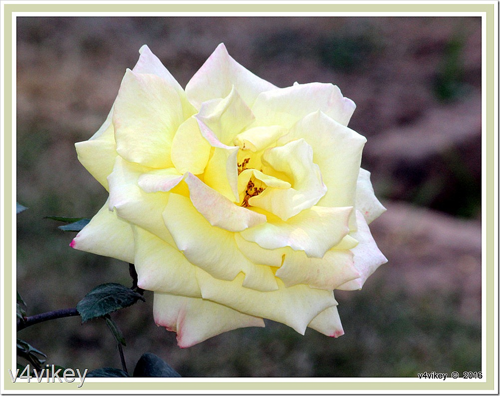 Elina Light Yellow Hybrid Tea Rose