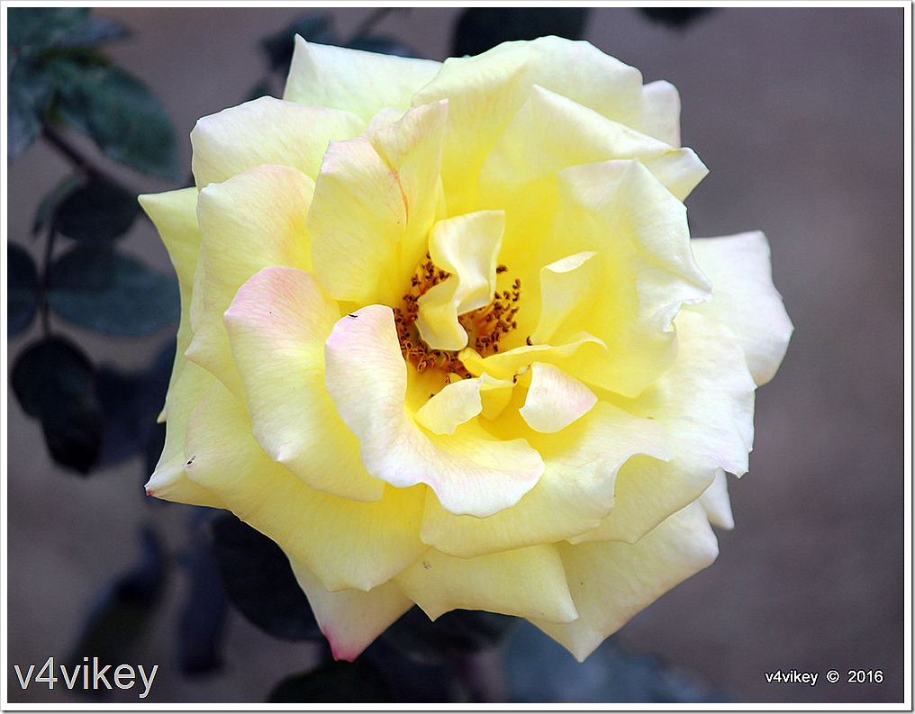 Elina Light Yellow Hybrid Tea Rose Flower