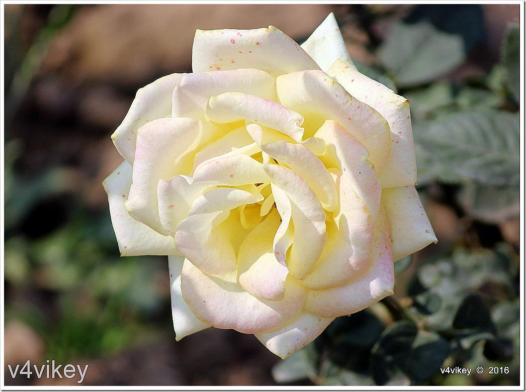 Elina Light Yellow Rose Flower