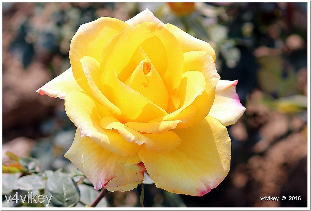Yellow Rose Flower