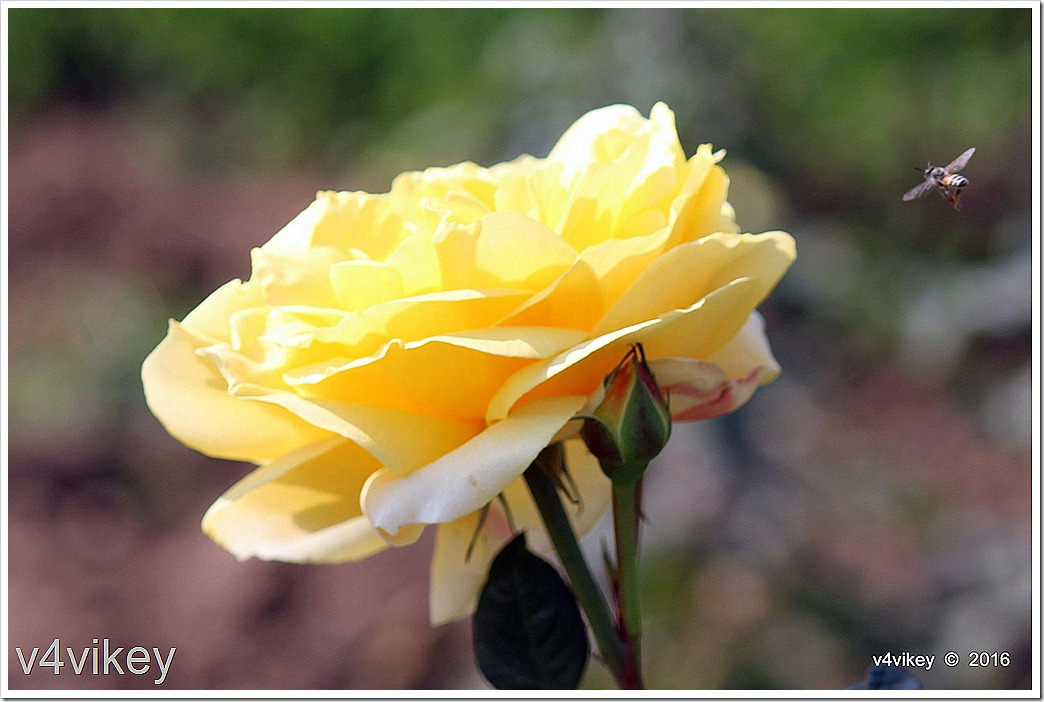 Eternal Flame Hybrid Tea Rose Flower Image