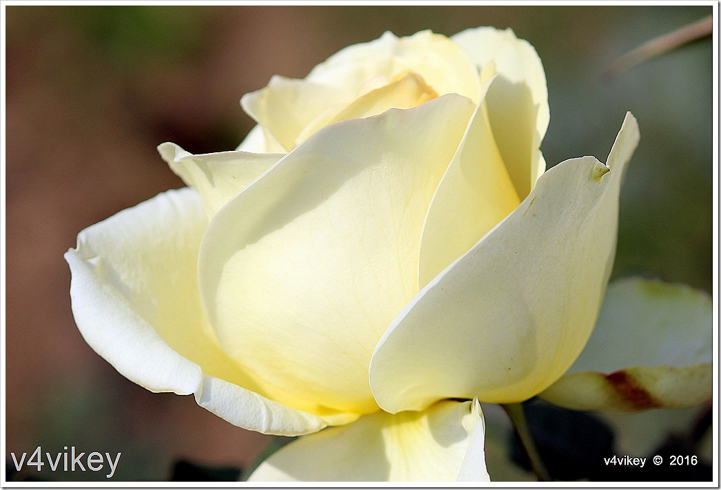 Eternal Flame Yellow Color Rose Wallpaper