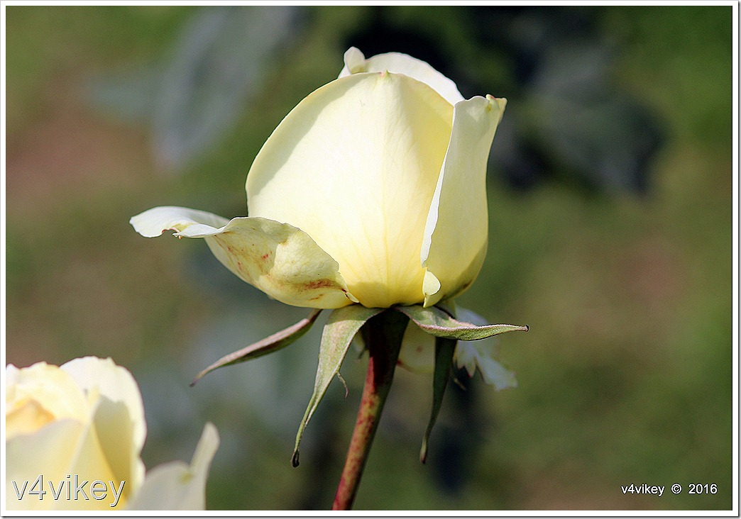 Eternal Flame Rose Bud