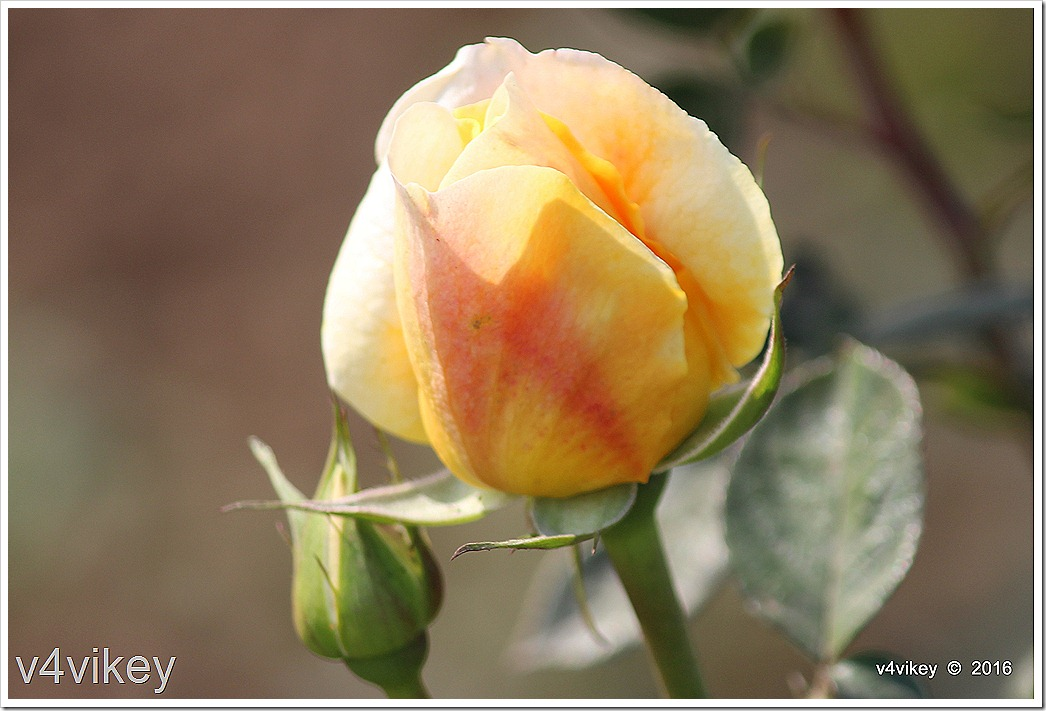 Eternal Flame Rose Bud Wallpaper