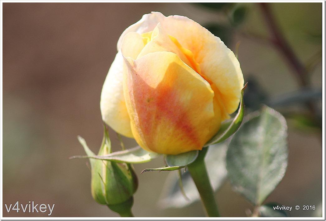 Eternal Flame Rose Bud Wallpaper