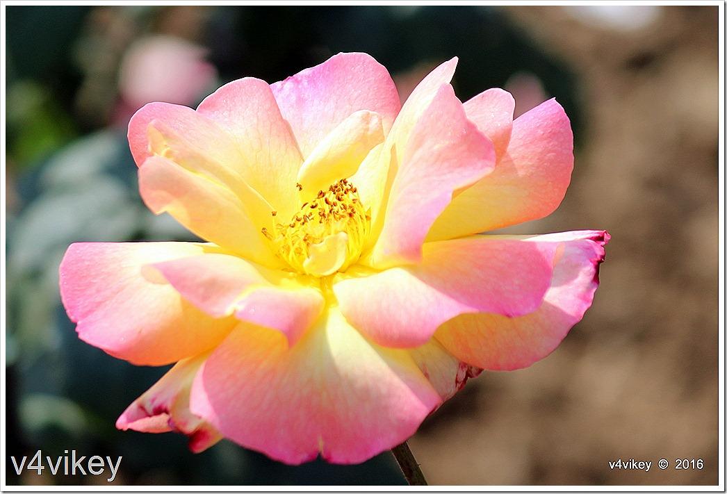 French Perfume Yellow pink Hybrid Tea Rose Flower