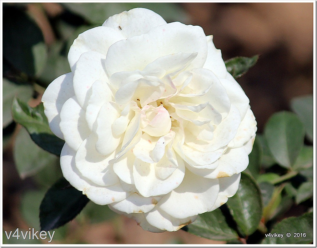 Glamis Castle Rose Flower Wallpaper