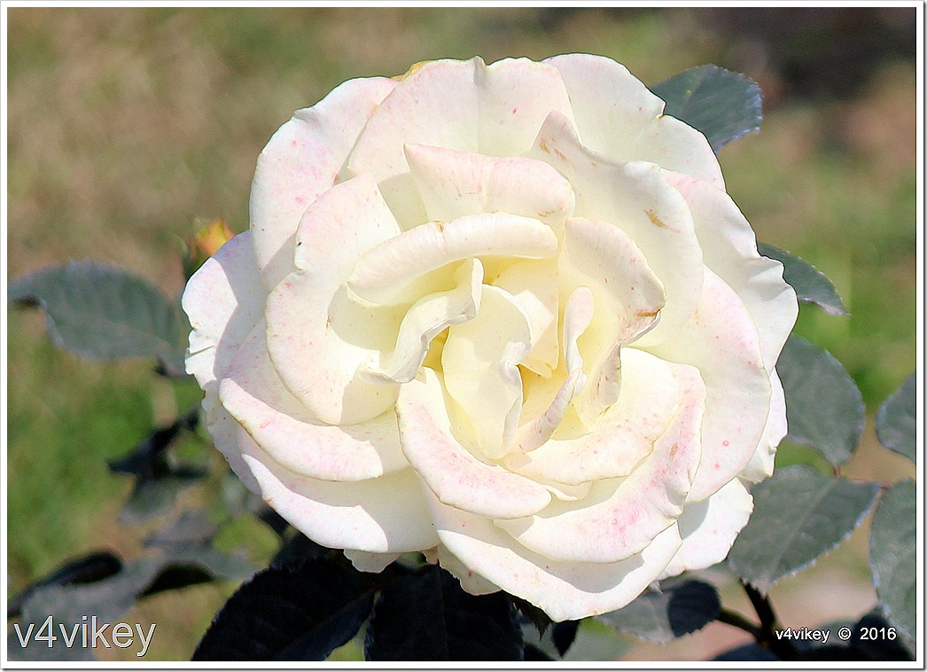 Glamis Castle Rose Image