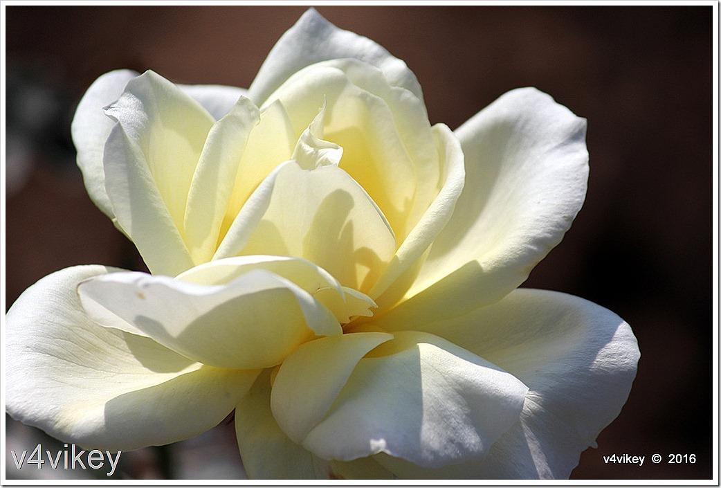 Good Old Summertime Light Yellow Rose