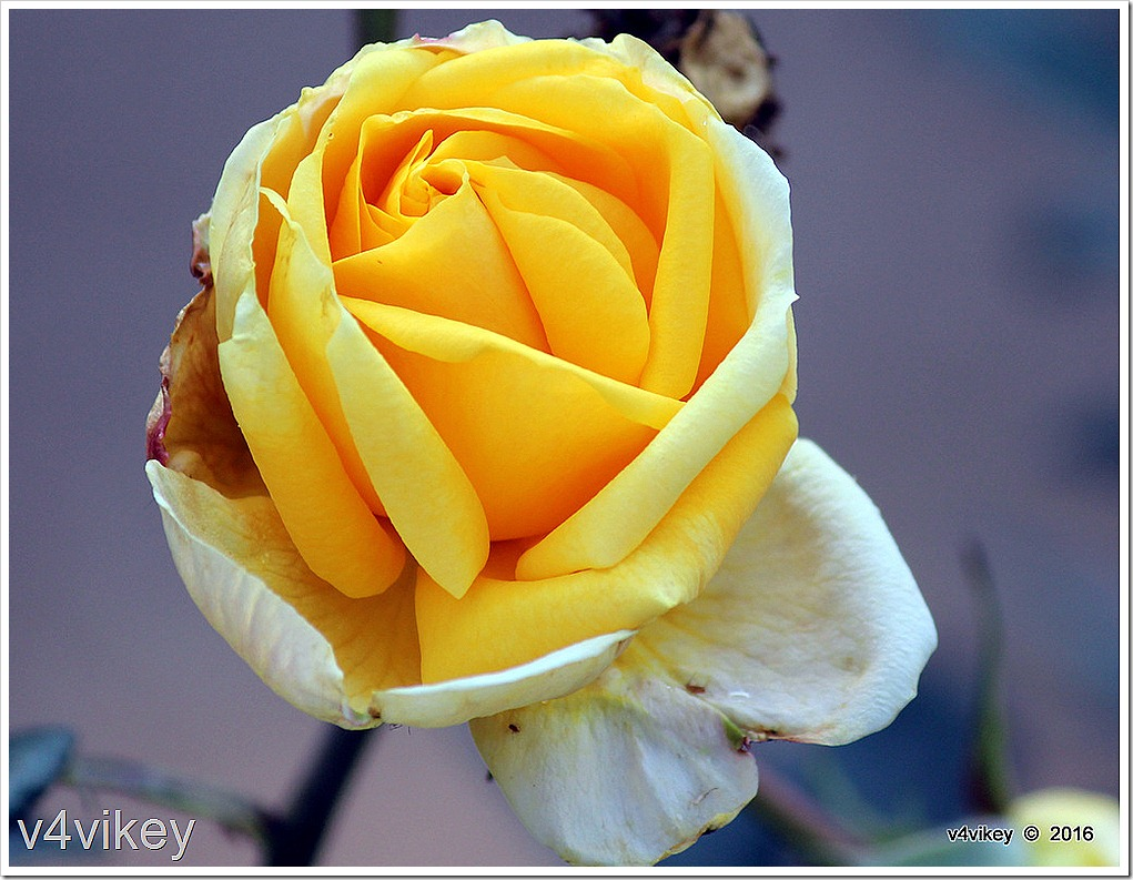 Good Old Summertime Light Yellow  Rose Flower