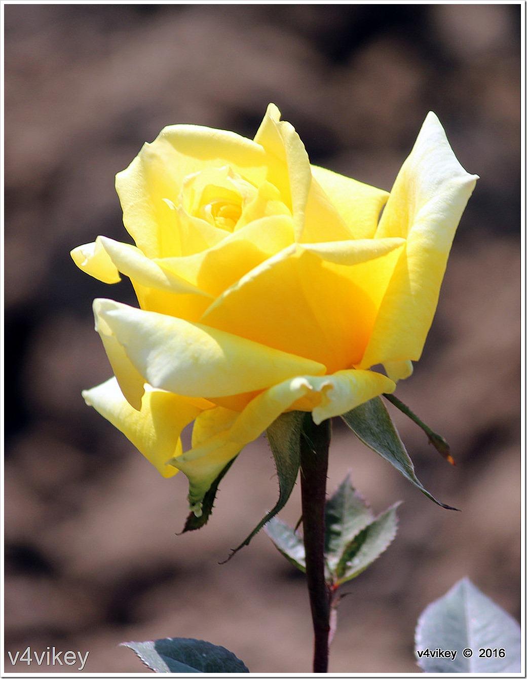 Happy Go Lucky Yellow Rose Flower