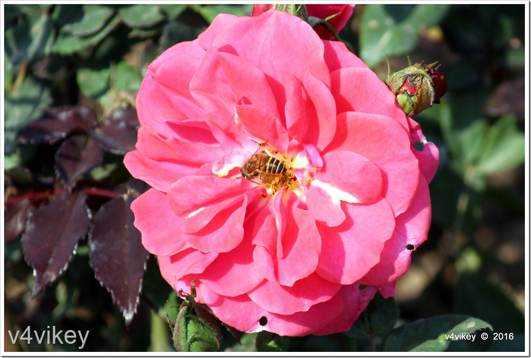 Pink Color Vigorosa Rose Flower
