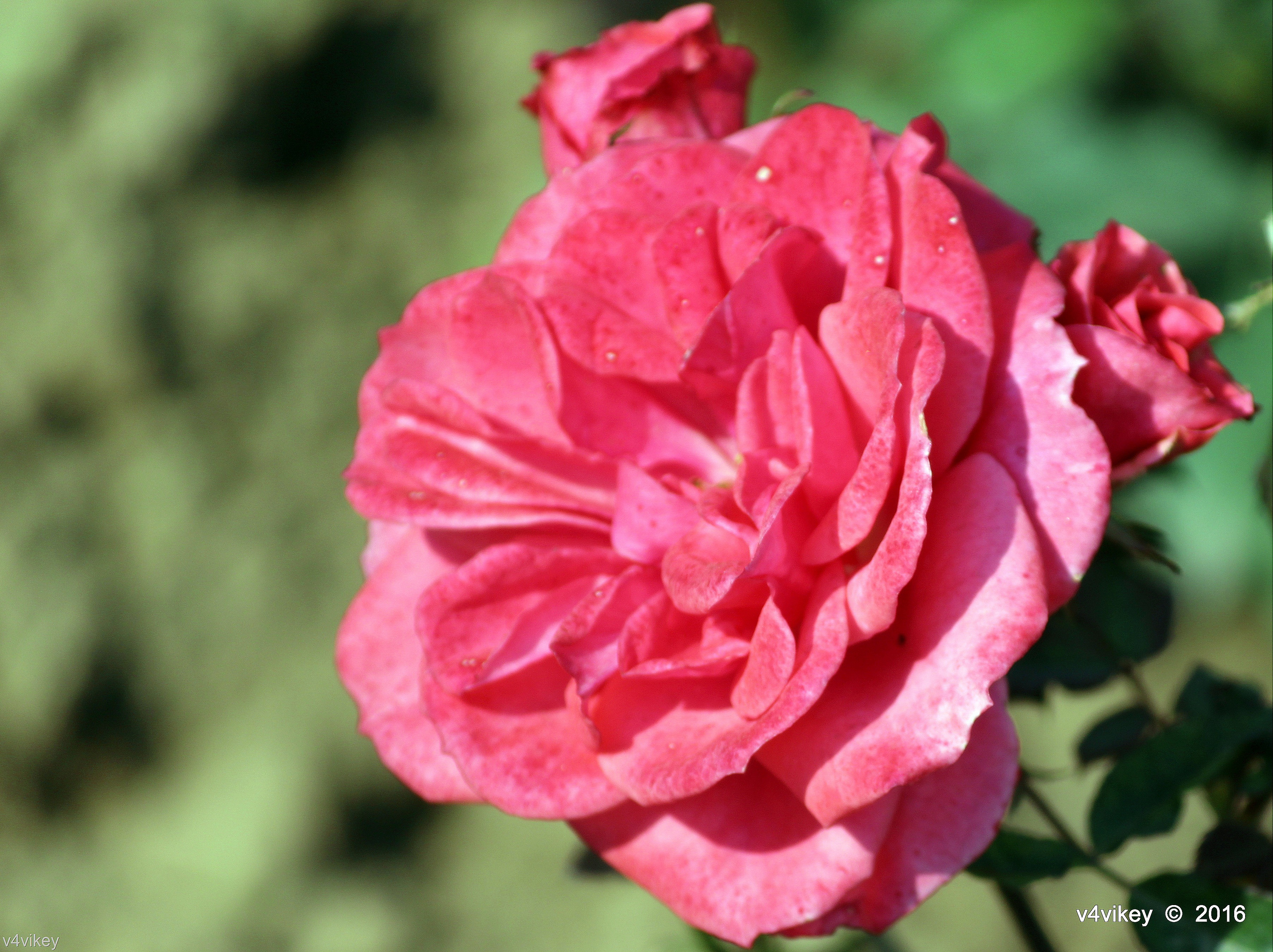Types of rose flowers pictures wallpaper tadka hot pink balconia rose flower mightylinksfo