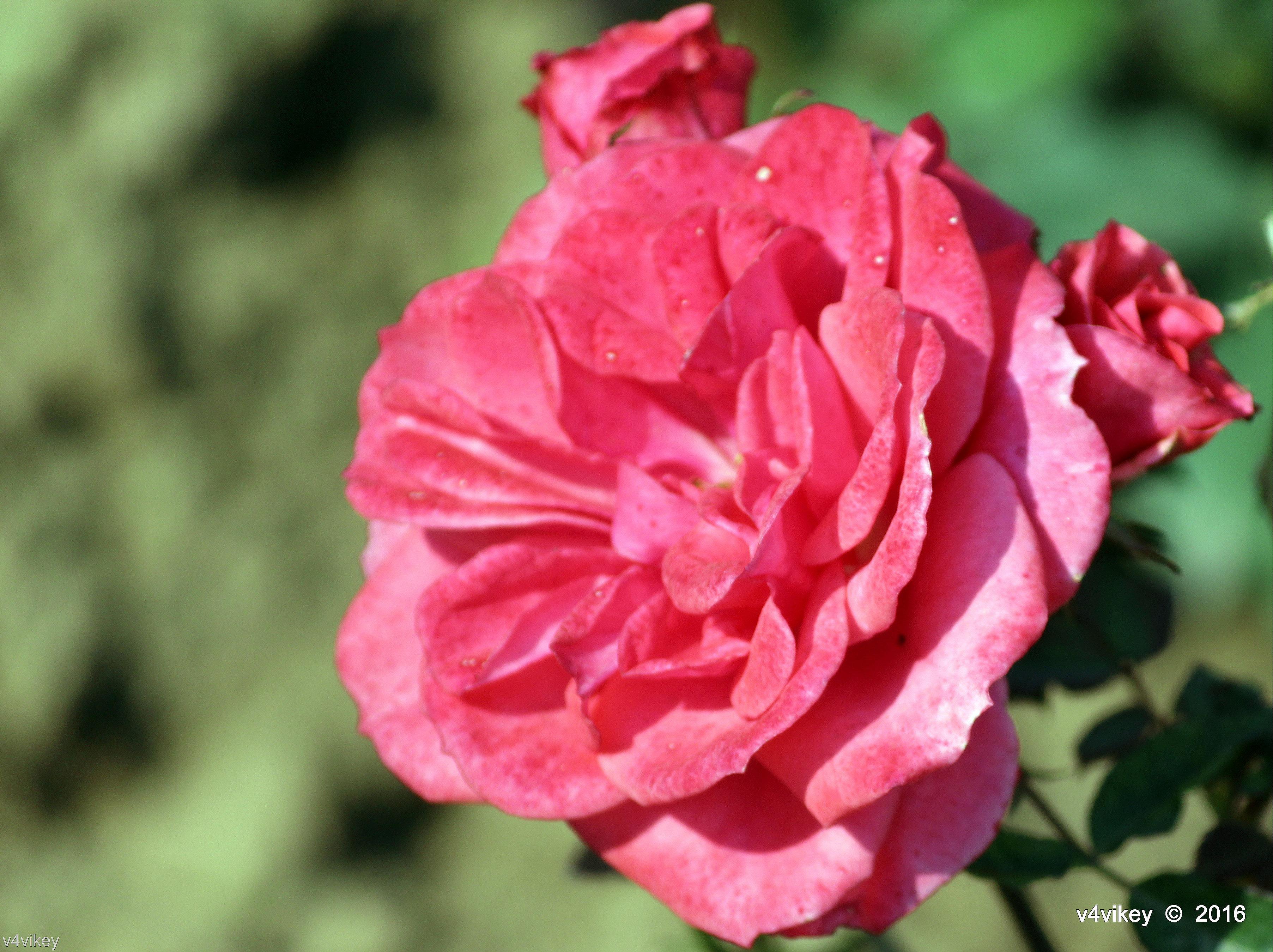 pink roses « Wallpaper Tadka