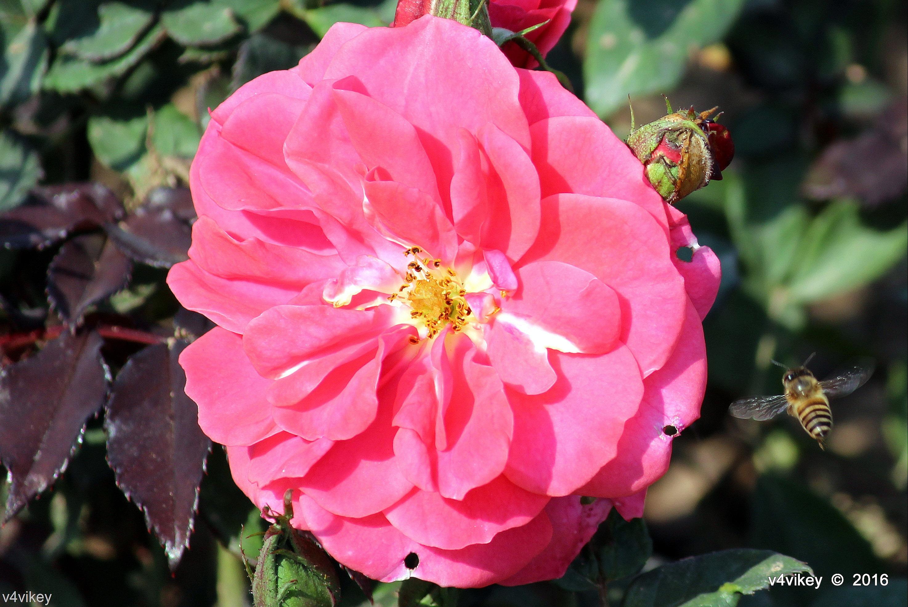 Hot pink balconia rose flower wallpaper wallpaper tadka hot pink balconia rose flower wallpaper mightylinksfo