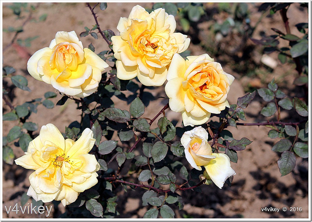 Isabella Sprunt Rose Flower Garden