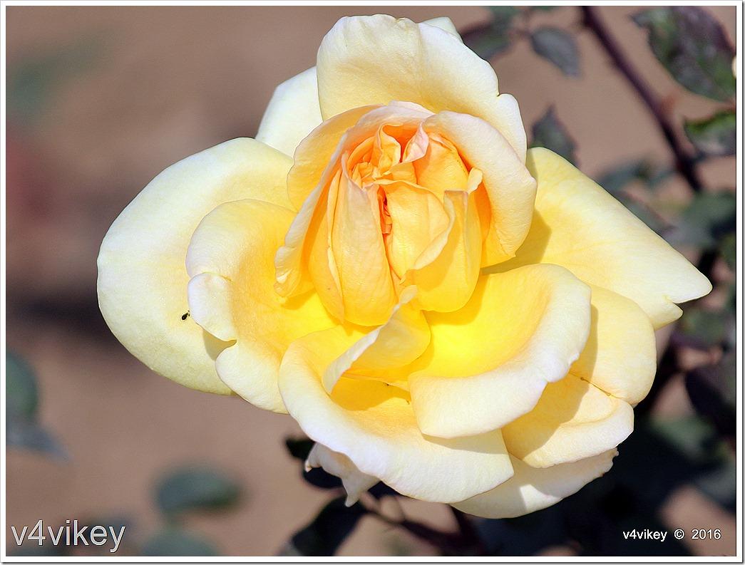 Isabella Sprunt Rose Flower Image