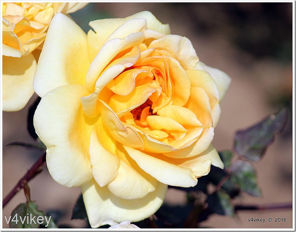 Isabella Sprunt Yellow Rose Flower