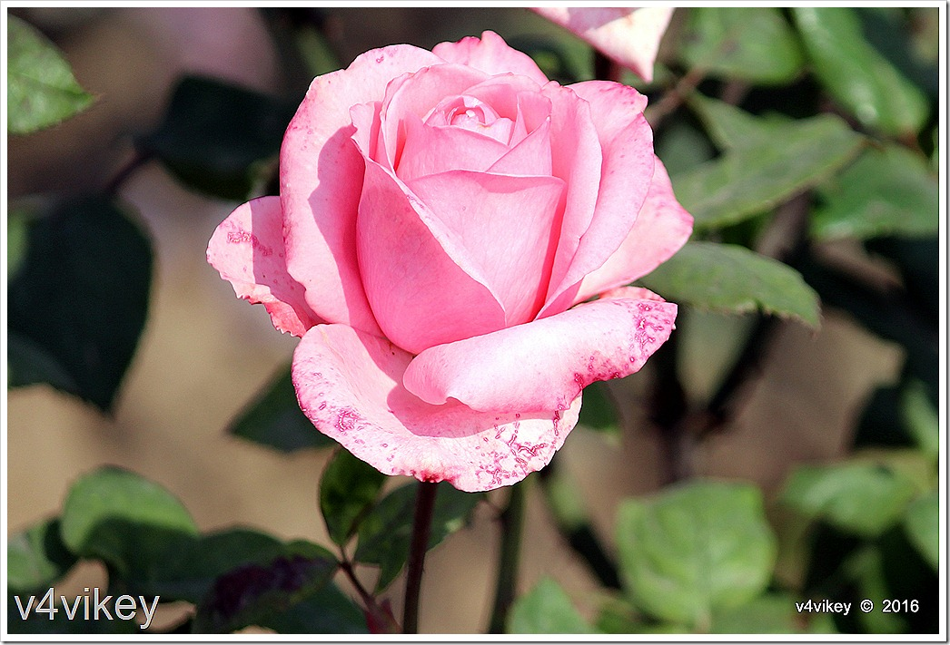 Landmark Pink Rose