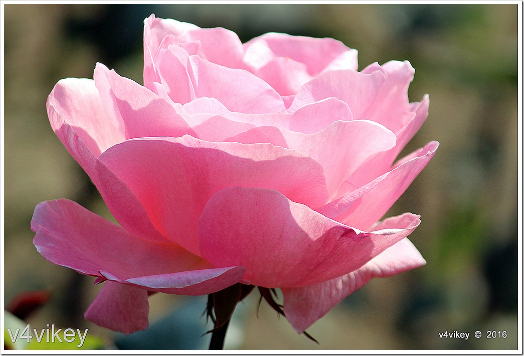 Landmark Rose