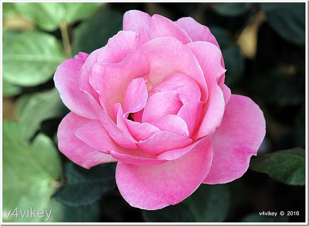 Landmark Rose Flower