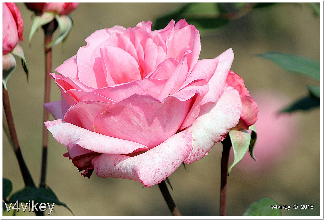 Landmark Rose Flower image