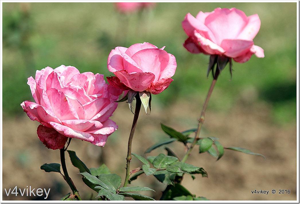 Landmark Rose Flowers