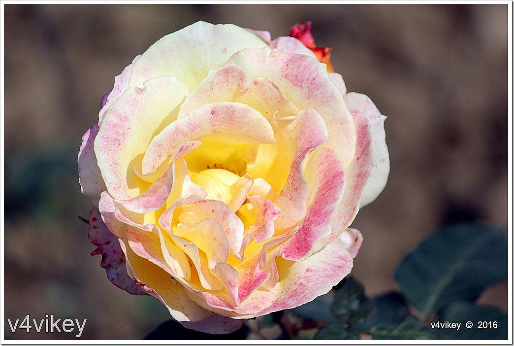 Love & Peace Hybrid Rose