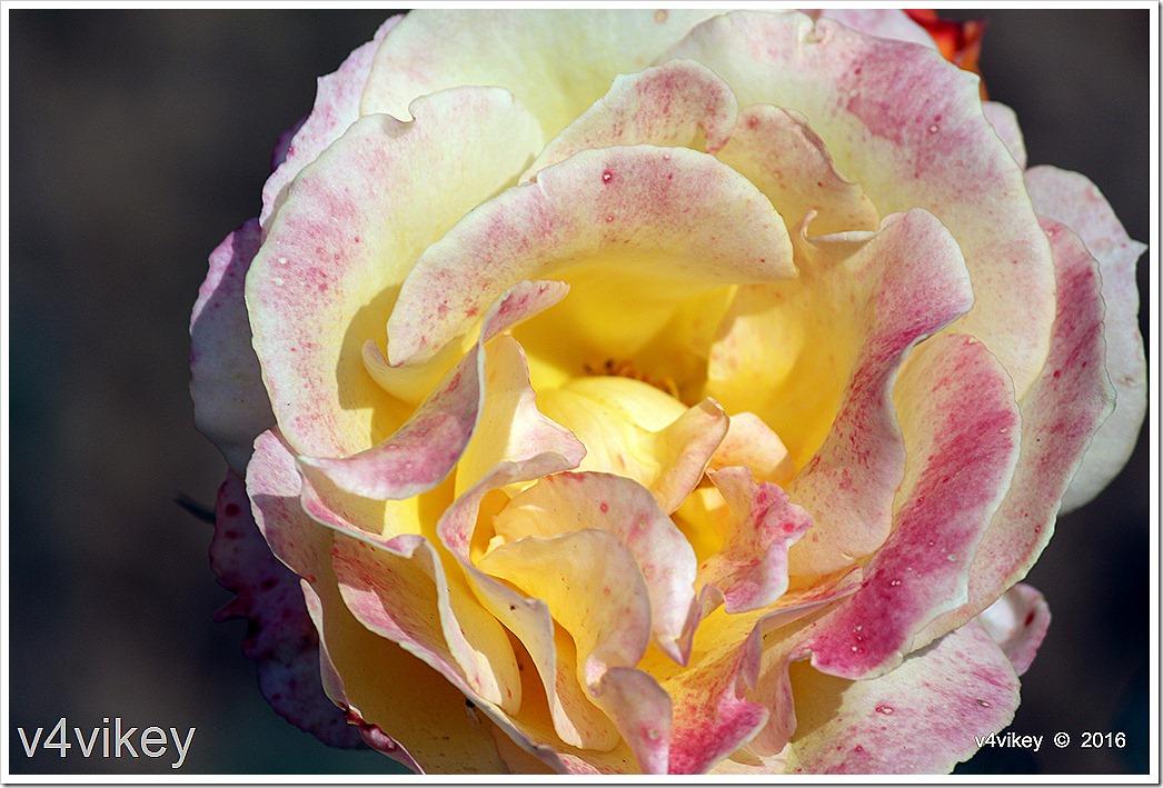 Hybrid Rose Flower