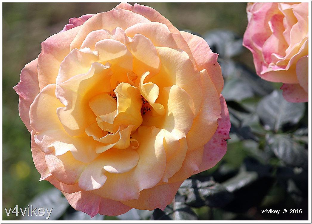 Love & Peace Hybrid Tea Rose Image