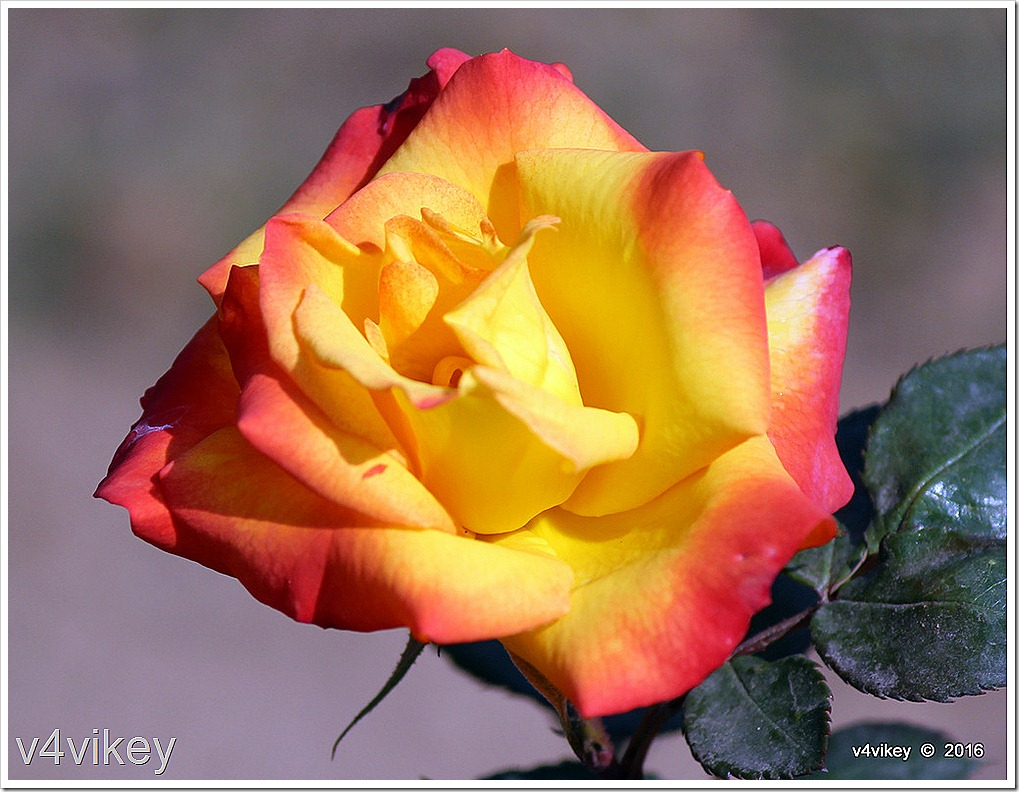 Love and Peace Hybrid Tea Rose Wallpaper