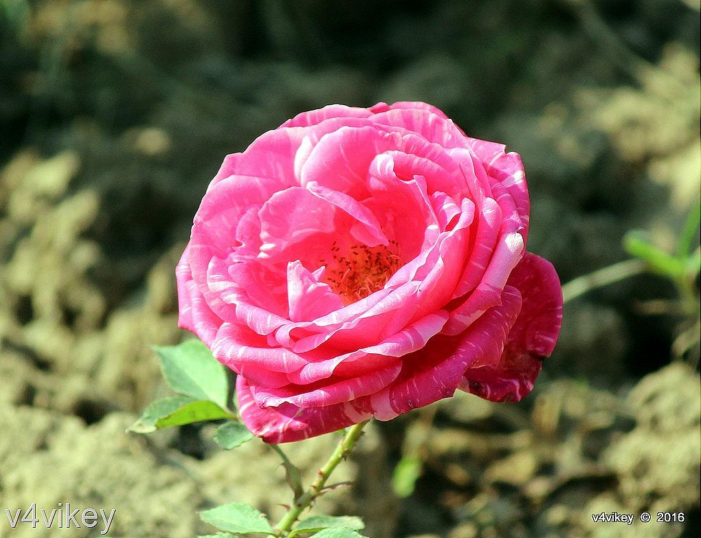 Raspberry cream pink twirl rose flower wallpaper tadka for Cream rose wallpaper