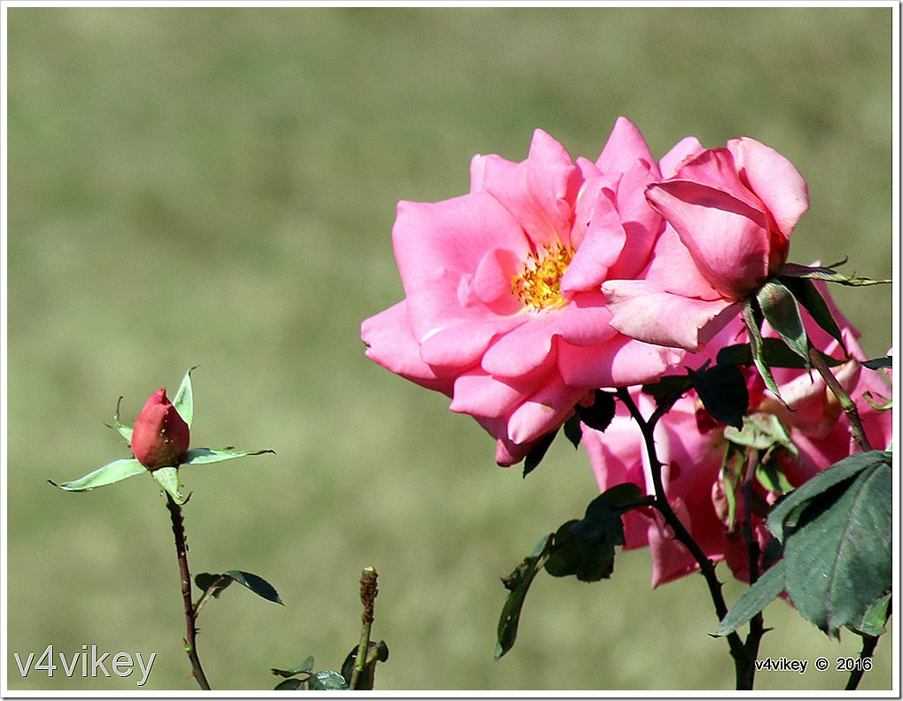 Morning Jewel Pink Climbing Rose with bud