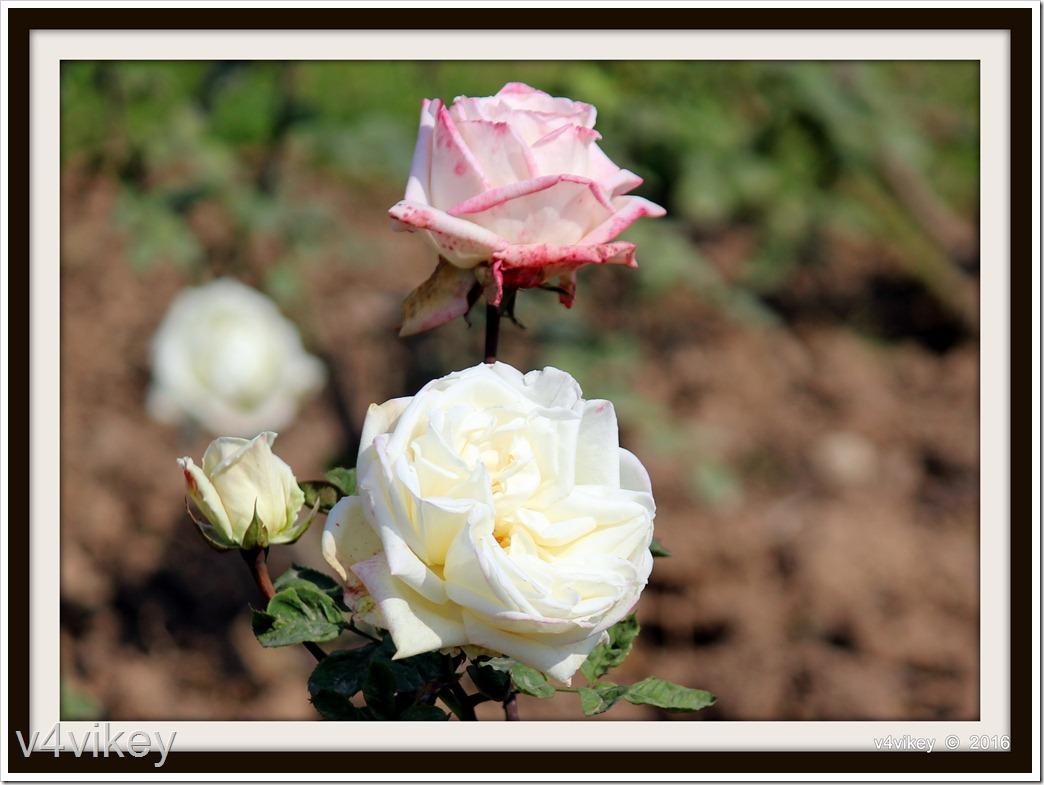 Multi Rose Flowers Wallpaper