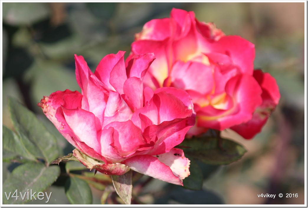 Painted Moon Rose flowers